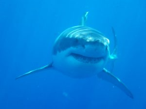 Great White Shark in the Farallones. Photo by Peter Winch