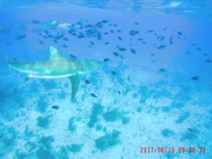 Bimini, shark dive, cage dive, Incredible Adventures, reef sharks, tiger sharks